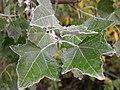 Populus alba (5002918098).jpg