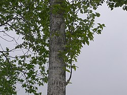 Populus tremula var sieboldii in Hokkaido-1.jpg