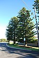 Port Campbell Norfolk Pines.JPG