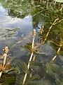 Potamogeton perfoliatus kz02.jpg