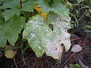 Powdery mildew on crop leaves