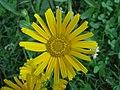 Primožek (Buphthalmum salicifolium) (3787792556).jpg