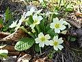 Primula vulgaris Mezzolombardo 02.jpg