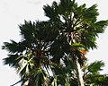 Pritchardia hillebrandii (5187874137).jpg
