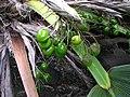 Pritchardia martii (5844079442).jpg
