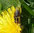 Probably Pollenia amentaria - Flickr - gailhampshire (3).jpg