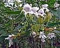 Prost.lasianthos-atlas-jennie-3.jpg
