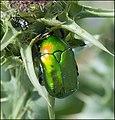 Protaetia-cuprea-ignicollis-IZE-257.jpg