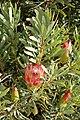 Protea repens (Proteaceae) (4575524949).jpg