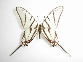 Description de l'image Protographium epidaus (Doubleday, 1846) Male.JPG.