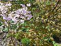 Prunus ^ Acer - Flickr - peganum.jpg