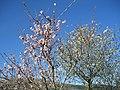 Prunus dulcis blossoming 01.jpg