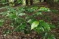 Prunus lusitanica kz03.jpg