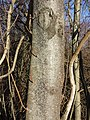 Prunus padus subsp. padus sl21.jpg