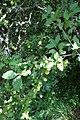 Prunus sp. Rosaceae 02.jpg