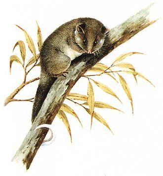 Pseudocheiridae - Pseudocheirus peregrinus, common ringtail possum