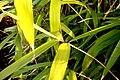 Pseudosasa-japonica-foliage.jpg