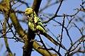 Psittacula krameri -Lessness Heath, Belvedere, England -female-8.jpg