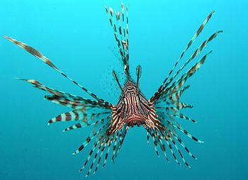 Pterois volitans, also known as red or common lionfish. Picture taken at Tasik Ria, Manadao, Indonesia.