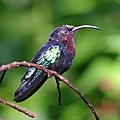 Purple-throated carib hummingbird.jpg