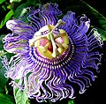 Purple Passionflower - Flickr - rittyrats.jpg