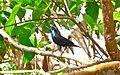 Purple sunbird perched.jpg