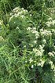 Pycnanthemum tenuifolium kz4.jpg