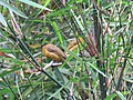 Pycnonotus flaviventris (40967337362).jpg