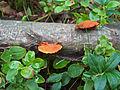 Pycnoporellus cinnabarinus - Punakääpä, Cinnoberticka C HPIM8706.jpg