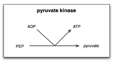 Pyruvate kinase.png