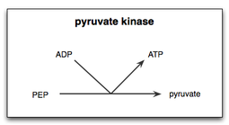 Pyruvate kinase revolvy a simple diagram demonstrating the final step of glycolysis the transfer of a phosphate group from phosphoenolpyruvate pep to adenosine diphosphate adp ccuart Gallery