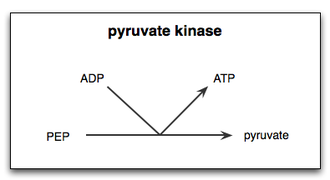 Pyruvate kinase - A simple diagram demonstrating the final step of glycolysis, the transfer of a phosphate group from phosphoenolpyruvate (PEP) to adenosine diphosphate (ADP) by pyruvate kinase, yielding one molecule of pyruvate and one molecule of ATP.