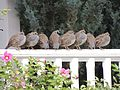 Quail on a rail.jpg