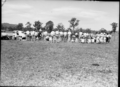 Queensland State Archives 1722 Department of Agriculture and Stock Cattle Husbandry Branch field day at a farm in the Upper Coomera Gold Coast August 1954.png