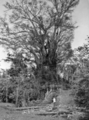 Queensland State Archives 877 Giant Fig Tree Petersens Crossing Yungaburra North Queensland October 1927.png