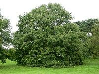 Quercus libani port.jpg
