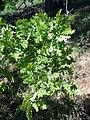 Quercus lobata-4.jpg