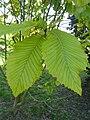 Quercus pontica (K. Koch) (Fagaceae) (leaves).JPG