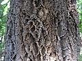 Quercus suber trunc 02 by Line1.jpg
