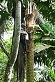 Récolteur de vin de palme à Ribeira Peixe (São Tomé) (2).jpg