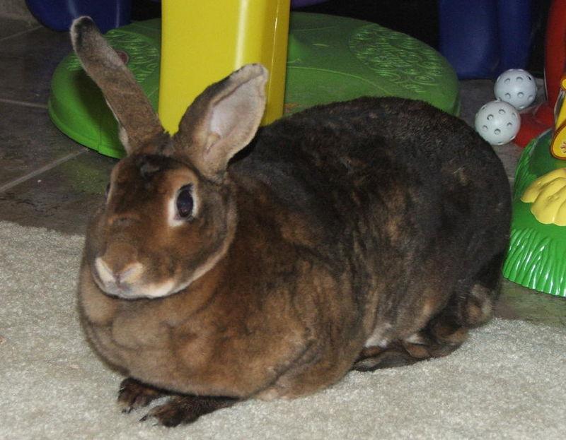 Rabbit minirex doe castor.jpg