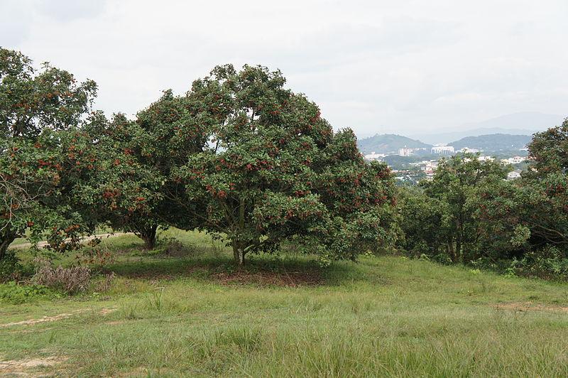 File:Rambutan tree (Nephelium lappaceum) 02.JPG