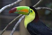 Ramphastos sulfuratus -bird park -Honduras.jpg