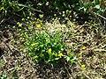 Ranunculus sardous subsp. sardous sl1.jpg
