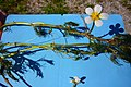 Ranunculus trichophyllus (8405487014).jpg