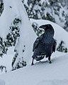 Raven (8501554467).jpg
