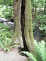 Ravenna Park - hollow tree.jpg