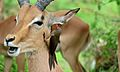 Red-billed Oxpecker (Buphagus erythrorhynchus) on Impala (6002394739).jpg