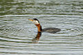 Red-necked grebe with a fish in it's throat.jpg