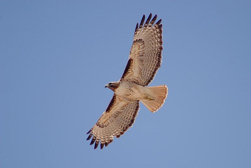 File:Red-tailed Hawk (Buteo jamaicensis) in flight.jpg